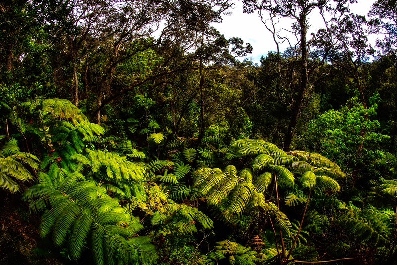 Lush growth in the forests in Volcanoes Nat'l Park on the Big Island.<br /> Photo © Carl Clark