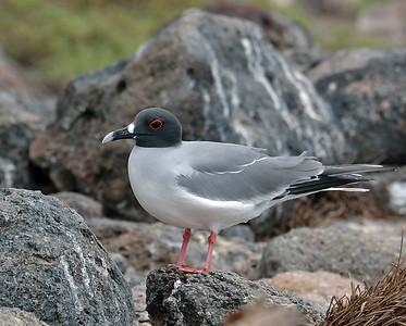 Swallow Tailed Gull, South Plaza Island, Galapagos, Ec