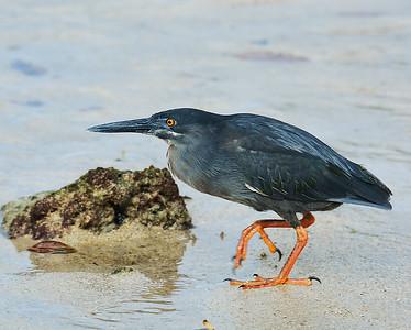 Striated Heron, Santa Cruz Island, Galapagos, Ec