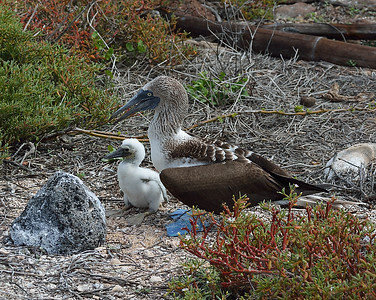 Blue Footed Booby and Chick, North Seymour Island, Galapagos, Ec