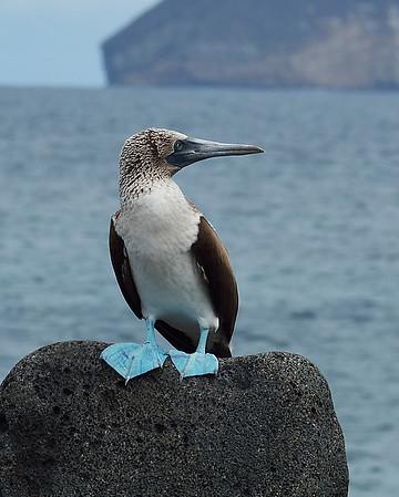 Blue Footed Booby 4, North Seymour Island, Galapagos, Ec