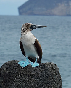 Blue Footed Booby 4, North Seymour Island, Galapagos, Ec