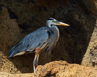 Great Blue Heron, Bartolome Island, Galapagos, Ec