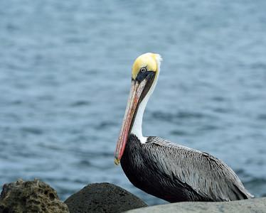 Brown Pelican Landscape, Bartolome Island, Galapagos, EC