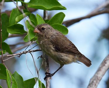 Tree Finch, Santa Cruz Island, Galapagos, Ec
