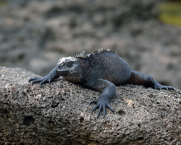 Marine Iguana, Santa Cruz Island, Galapagos, Ec