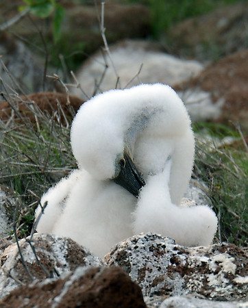 Blue Footed Booby Chick, North Seymour Island, Galapagos, Ec