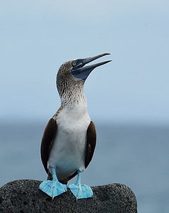 Blue Footed Booby 2, North Seymour Island, Galapagos, Ec