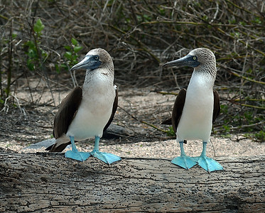 Blue Footed Booby Pair 3, North Seymour Island, Ec
