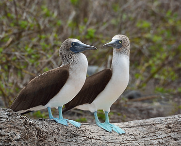 Blue Footed Booby Pair 1, North Seymour Island, Galapagos, Ec