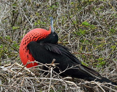 Magnificent Frigate Bird 1, North Seymour Island, Galapagos, Ec