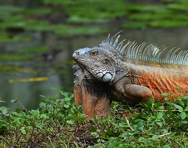 Land Iguana, Quayaquil, Ec