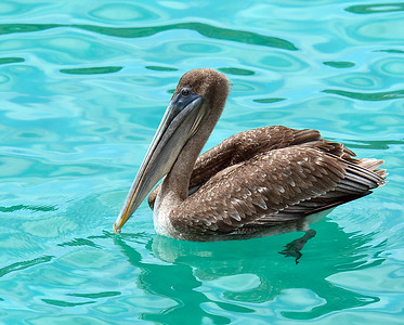 Brown Pelican 2, South Plaza Island, Galapagos, Ec