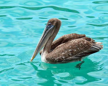 Brown Pelican 2, South Plaza Island, Galapagos, Ec