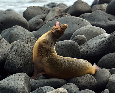 Galapagos Sealion 2, North Seymour Island, galapagos, Ec