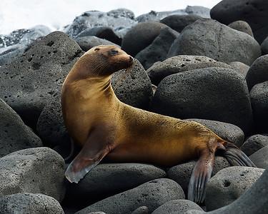 Galapagos Sealion 1, North Seymour Island, Galapagos, Ec