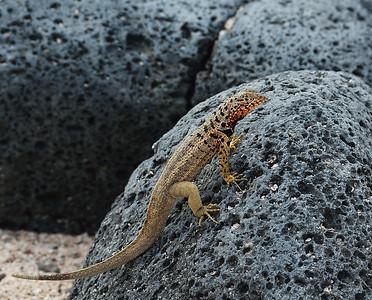 Lava Lizard, North Seymour Island, Galapagos, Ec
