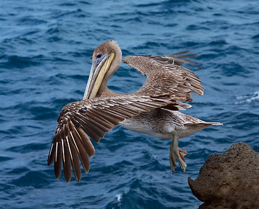 Brown Pelican 1, North Seymour Island, Galapagos, Ec