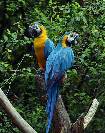 Blue and Yellow Macaw, Quayaquil, Ec