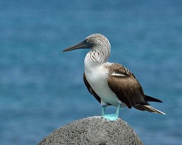 Blue Footed Booby 3, North Seymour Island, Ec