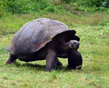 Giant Tortoise, Santa Cruz Island, Galapagos, Ec