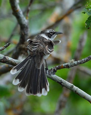 Galapagos Mockingbird, Santa Cruz Island, Galapagos, Ec