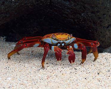 Sally Lightfoot Crab 2, South Plaza Island, Galapagos, Ec