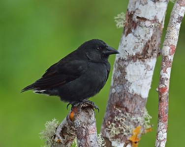 Ground Finch, Santa Cruz Island, Galapagos, Ec