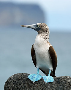 Blue Footed Booby 1, North Seymour Island, Galapagos, Ec