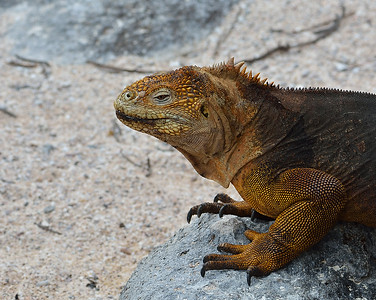 Land Iguana 2, North Seymour Island, Galapagos, Ec