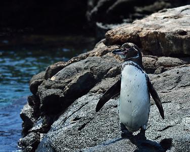 Galapagos Penguin 2, Bartolome Island, Galapagos, Ec