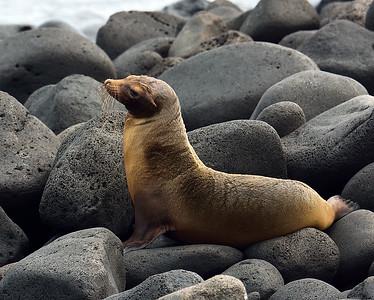 Galapagos Sealion 3, North Seymour Island, Galapagos, Ec