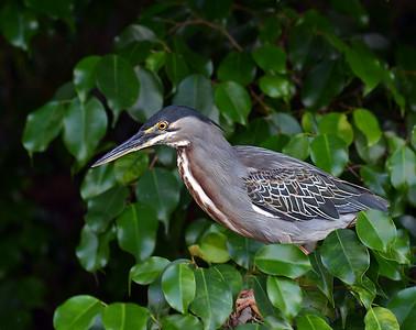 Striated Heron, Quayaquil, Ec