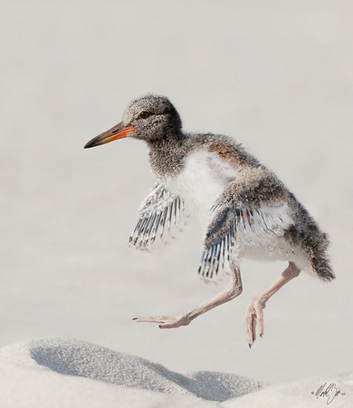 American Oystercatcher, chick
