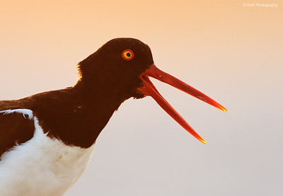 American OysterCatcher - Backlight