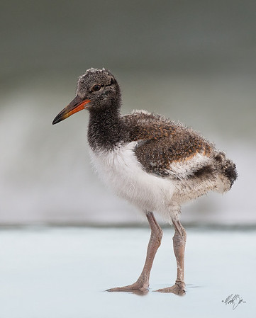 American Oystercatcher,chick