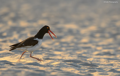 American Oystercatcher at Dawn