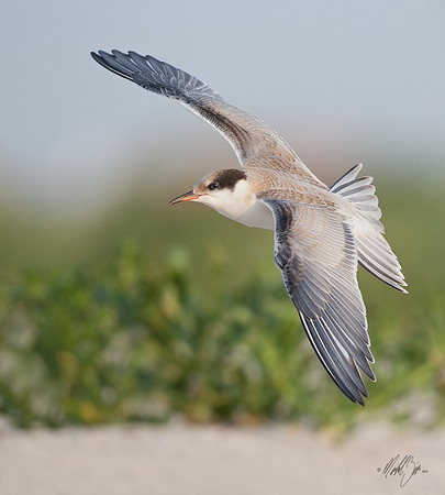 Common Tern,juvenile