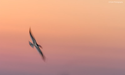 Black Skimmer Flight at Sunset