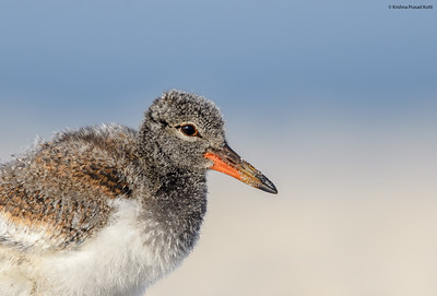 American Oystercatcher Chick Portrait