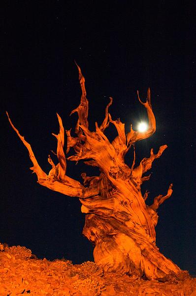 #221 Bristlecone Pine Tree, White Mountains, CA