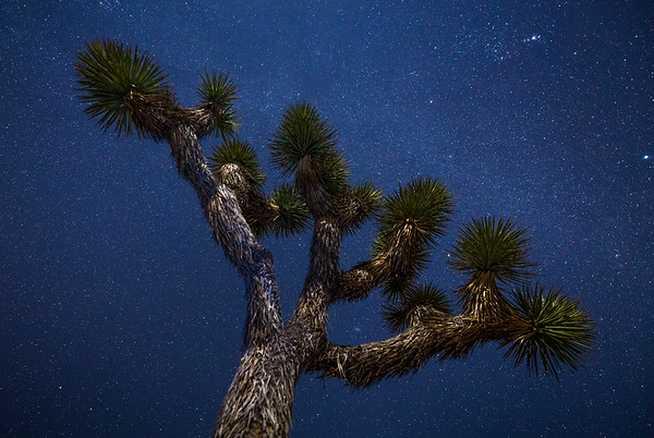 Joshua Tree at Night – a Vast Ocean of Stars