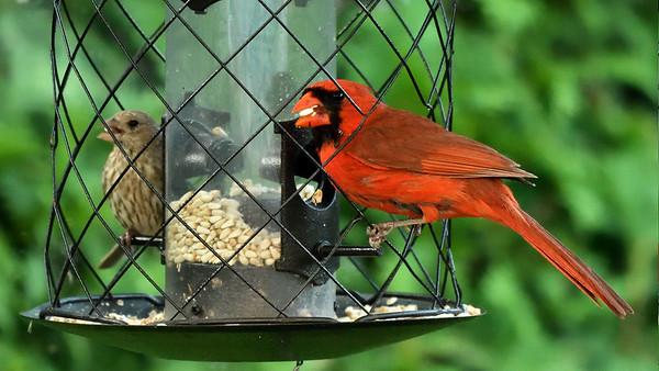 Cardinal rouge et roselin familer femelle