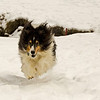 Daisy the Sheltie charges through the snow 12/26/2010