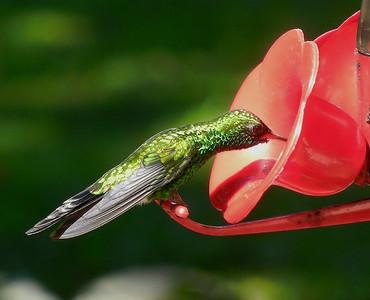 Hummingbird feeding. Gumbalimba park. Roatan.