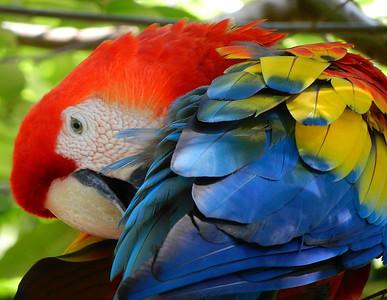 Scarlet Macaw. Gumbalimba Park. Roatan, Honduras.