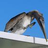 Mr. pelican's gotta scratch that itch.