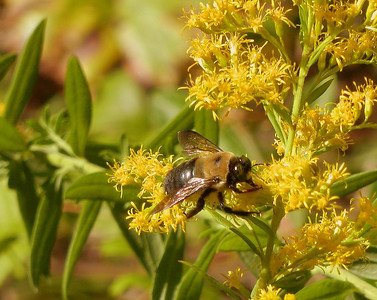 Bee working a wild flower. Full zoom.