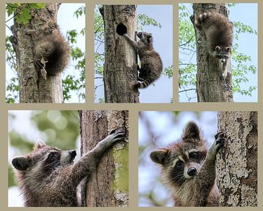 Racoon_tree-1