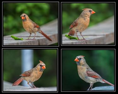 Cardinal Studycomp-1